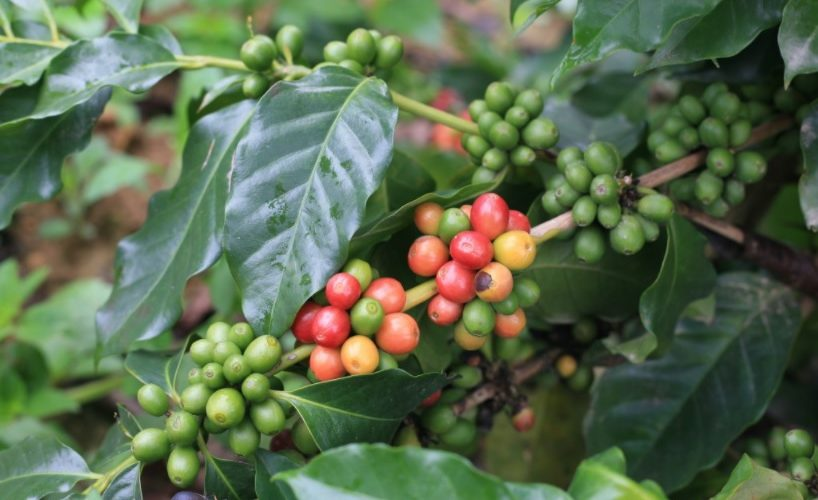 Coffee beans grow in a Vietnam plantation